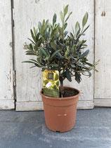 Olivenbaum Hochstamm Höhe ca. 40cm