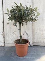 Olivenbaum Hochstamm Höhe ca. 45cm