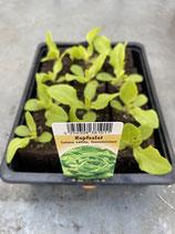 Kopfsalat - 12 Jungflanzen in Schale