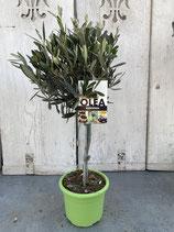 Olivenbaum Hochstamm Höhe ca. 60cm