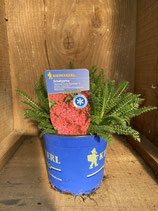 Achillea x millefolium 'Summer Fruits Carmine' - Schafgarbe