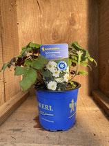 Anemone hupehensis 'Tiki Sensation' - Gartenanemone