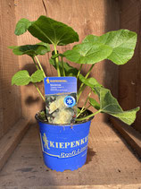 Alcea rosea 'Chaters Yellow' - Stockrose