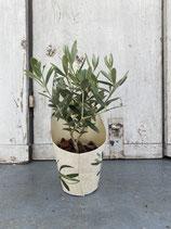 Olivenbaum Hochstamm Topfdurchmesser 9cm Höhe ca. 25cm