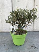 Olivenbaum Hochstamm Höhe ca. 30cm