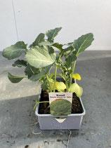 Broccoli - 6 Jungflanzen in Schale