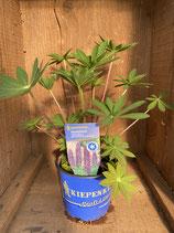 Lupinus polyphyllus 'Gallery Blue' - Staudenlupinie