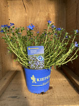 Lithodora diffusa 'Heavently Blue' - Steinsamen
