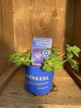 Geranium x hybridum 'Rozanne' - Storchenschnabel