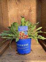 Gaillardia x aristata 'Arizona Sun' - Kokardenblume