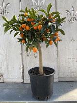 Kumquat Hochstamm Höhe ca. 75cm