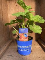 Alcea rosea 'Chaters Apricot' - Stockrose