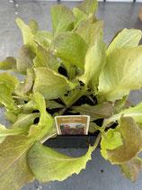 Kopfsalat rot - 12 Jungflanzen in Schale
