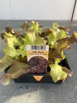 Lollo Rossa - 12 Jungflanzen in Schale