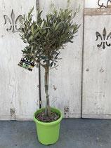Olivenbaum Hochstamm Höhe ca. 90cm