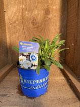 Leucanthemum x maximum 'Victorian Secret' - Große Margerite