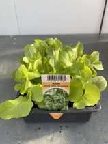 Krizet - 12 Jungflanzen in Schale