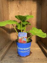 Alcea rosea 'Chaters Scarlet' - Stockrose