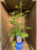 Delphinium x cultorum 'Magic Fountains Lilac Pink / White Bee - Rittersporn