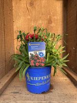 Dianthus caryophyllus 'Napoli' - Gartennelke