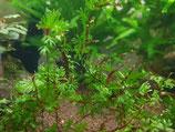 Crepidomanes Vietnam type 2
