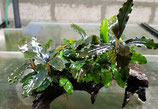 Bucephalandra 'Melody'