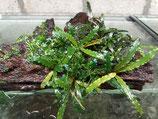 Bucephalandra 'mini black velvet'