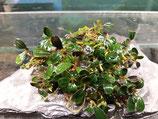 Bucephalandra 'mini copper'