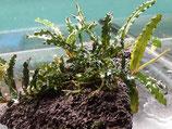 Bucephalandra 'Catherinea'