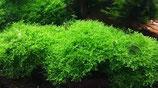 Koraalmos (Riccardia Chamedryfolia)