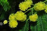 銀合歡原精 Mimosa Absolute