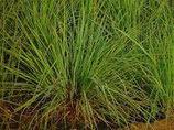 野生檸檬香茅精油 Wild Growth Lemongrass essential oil