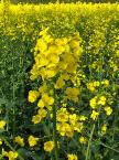 有機油菜籽油 Organic Rapeseed Oil
