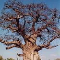 野生猴包樹油 Wild Growth Baobab Oil