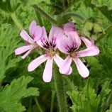 有機玫瑰天竺葵精油 Organic Rose Geranium Essential Oil