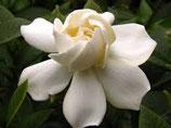 有機梔子花純露 Organic Gardenia Hydrosol