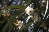 有機藍膠尤加利純露 Organic Eucalyptus Hydrosol