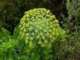 野生白松香純露 Wild Growth Galbanum Hydrosol