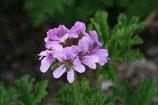 野生波旁天竺葵精油Wild Growth Geranium,Bounbon Essential Oil
