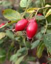 有機玫瑰果油Organic Rosehip Oil