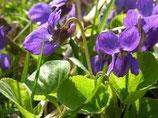 紫羅蘭葉原精 Violet leaf Absolute