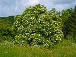 有機接骨木花純露 Organic Elderflower Hydrosol