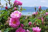 有機保加利亞玫瑰純露 Organic Bulgaria Rose Hydrosol