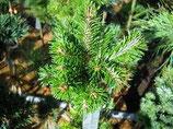 野生西伯利亞冷杉精油Wild Growth Siberian Fir Needle Essential Oil