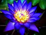 印度古法蒸餾藍蓮(青蓮花)純露 Blue Lotus Hydrosol