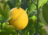 有機檸檬純露 Organic Lemon Hydrosol (需用低溫宅急便, 運費自付)