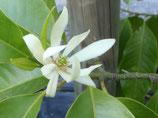 野生白玉蘭純露 Wild Growth White Michelia Hydrosol
