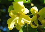 有機完全依蘭精油 Organic Ylang Complete Essential Oil
