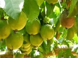 野生西蕃蓮籽油 Wild Growth Passion fruit Oil