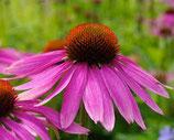 有機紫錐花純露 Organic Purple Coneflower Hydrosol
